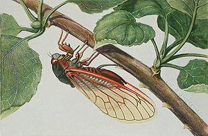 """Decim periodical cicadas - Magicicada septendecim (Linnaeus, 1758) was the first periodical cicada described. This 17-year species is closely related to two 13-year species (M. tredecim and M. neotredecim); these three species are often described together as """"decim periodical cicadas."""""""