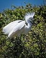 Snowy Egret (35426219145).jpg