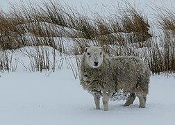 Snowy woolly jumper near Crask - geograph.org.uk - 737694.jpg