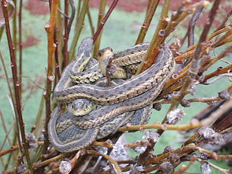 Kleptothermy - Male Canadian garter snakes huddle around a female after hibernation when mating.