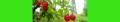 Solanum dulcamara. Reader-2.png