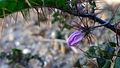 Solanum prinophyllum unopen flower (14792992907).jpg