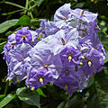 Solanum wendlandii-IMG 9407.jpg