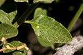 Solanum xanti - Flickr - aspidoscelis (1).jpg