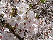 Bunga Sakura jenis Someiyoshino (Prunus × yedoensis Matsum. cv. Yedoensis)