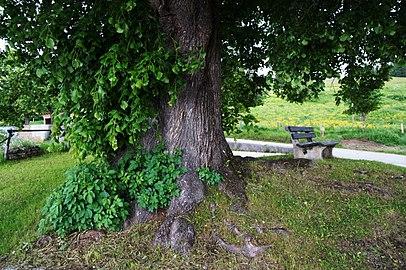 Sommer-Linde in Gossen, Knappenberg, Gemeinde Hüttenberg, Kärnten, Bezirk St. Veit an der Glan, Kärnten.jpg