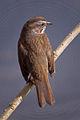 Song Sparrow (Melospiza melodia).jpg