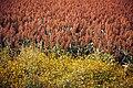 Sorghum field in Mexico.jpg