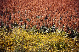 Agriculture in Mexico - Sorghum field in Guanajuato. Sorghum is mainly used for cattle feed in Mexico.