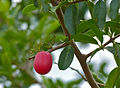 Sourplum (Ximenia caffra) (11516373005).jpg