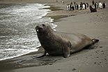 Southern Elephant Seal poses seductively on the beach (5797919211).jpg