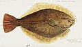 Southern Pacific fishes illustrations by F.E. Clarke 52.jpg