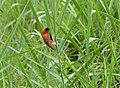 Southern Red Bishop (Euplectes orix) (13781064454).jpg