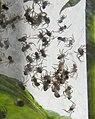 Spiders in Sweden (20244866201).jpg