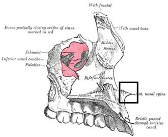 Anterior nasal spine - Left maxilla. Nasal surface (anterior nasal spine labeled at bottom right)