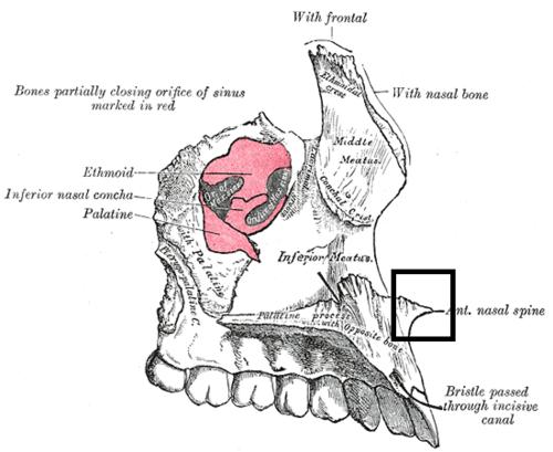 Anterior Nasal Spine