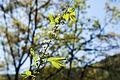 Spiraea prunifolia var. simpliciflora 2015년 4월21일 (16726338284).jpg
