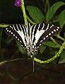 Spot Swordtail Graphium nomius UP by Dr. Raju Kasambe DSCN6948 (8).jpg