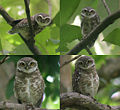 Spotted Owlet- different moods I.jpg