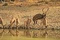 Spotted deer (3).jpg