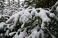 Spruces with snow.JPG