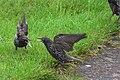 Squabbling starlings - geograph.org.uk - 945802.jpg