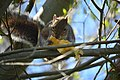 Squirrel in tree eating an apple near the Ceramic and Metal Arts Building, University of Washington - 02.jpg