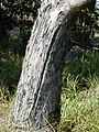 Starr-011028-0004-Lophostemon confertus-trunk-Pololei Haiku-Maui (24434083582).jpg