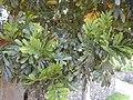 Starr-020617-0017-Filicium decipiens-leaves-Kihei-Maui (24549906655).jpg