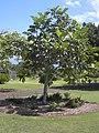 Starr-040318-0061-Artocarpus altilis-habit-Maui Nui Botanical Garden-Maui (24072789513).jpg