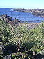 Starr-040331-0257-Nicotiana glauca-view coast-Kanaio-Maui (24674372926).jpg