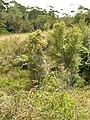 Starr-050818-4094-Cinnamomum camphora-habit-Kahakapao Gulch-Maui (24684908852).jpg