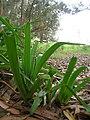 Starr-051123-5477-Agapanthus praecox subsp orientalis-habit-Haleakala Ranch-Maui (24482129149).jpg