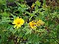 Starr-090417-6138-Tithonia diversifolia-flowers and leaves-Haliimaile-Maui (24584564299).jpg