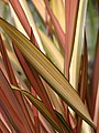 Starr-090426-6326-Phormium tenax-leaves-Kulamalu Town Center Kula-Maui (24952497045).jpg