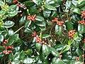 Starr-090514-7852-Ilex aquifolium-fruit and leaves-Kula-Maui (24929009066).jpg
