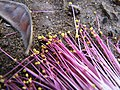 Starr-090813-4184-Barringtonia asiatica-flowers-Kamalii Park Kahului-Maui (24345203523).jpg