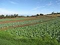 Starr-091023-8507-Brassica oleracea var capitata-field of crops-Kula-Maui (24868769382).jpg