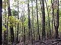 Starr-091029-8731-Fraxinus uhdei-fall foliage and trail-Olinda-Maui (24869260722).jpg