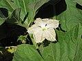 Starr-110209-0845-Lagenaria siceraria-flower and leaves-Resort Management Group Nursery Kihei-Maui (24956647242).jpg