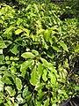 Starr-110215-1306-Polyscias guilfoylei-habit-KiHana Nursery Kihei-Maui (24780449920).jpg
