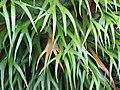 Starr-110307-2131-Platycerium bifurcatum-leaves-Kula Botanical Garden-Maui (24450796503).jpg