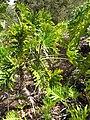 Starr-110307-2284-Philodendron bipinnatifidum-habit-Kula Botanical Garden-Maui (25077932515).jpg