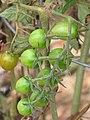 Starr-110411-4979-Solanum lycopersicum-flowers emerging-Hawea Pl Olinda-Maui (25056219296).jpg