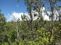 Starr-111012-1057-Juniperus bermudiana-habit-Kahana-Maui (24492456353).jpg