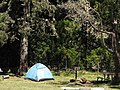 Starr-120329-4006-Cryptomeria japonica-habitat and tent-Hosmers Grove HNP-Maui (24842536030).jpg