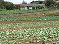 Starr-120403-4138-Brassica oleracea var capitata-crop-Kula-Maui (25045229081).jpg