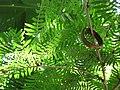 Starr-120522-6071-Calliandra surinamensis-leaves-Iao Tropical Gardens of Maui-Maui (25143111625).jpg
