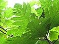 Starr-120606-7007-Artocarpus altilis-leaves-Kahanu Gardens Hana-Maui (25144669535).jpg