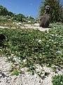 Starr-150328-1824-Dactyloctenium aegyptium-seeding habit-Southwest Eastern Island-Midway Atoll (25151601972).jpg